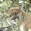 Cougar, Lynx, Bobcat, Wolf - Picture Gallery