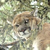 Cougar, Lynx, Bobcat, Wolf