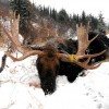 Shiras Moose - Picture Gallery